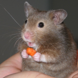 """<a href=""""https://commons.wikimedia.org/wiki/File:Hamster_in_hand-cropped.jpg"""">Hamster in hand</a> (c) Keith Pomakis. <a href=""""https://creativecommons.org/licenses/by-sa/2.5/deed.en"""">CC-BY-SA-2.5</a>"""